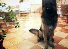 pure german Shepherd long hair dogً. جيرمان شيفيرد بيور