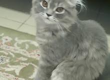 قطط شيرازي ولادة بحرين للبيع