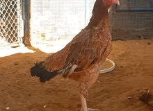 دجاجة سندية بيور للبيع