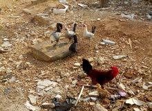 دجاج فيومي بياض 12وديكين للبيع