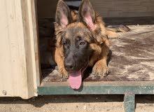For sale German Shepherd