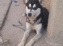 كلب هاسكي 1300 dhs