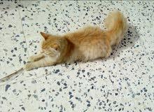 للبيع قطوس من السلاله الفارسية مطعم
