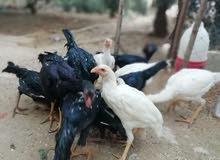 جاج باكستاني نخب النخب للبيع