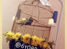 طيور الحب باقفاص جميلة