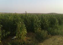 150فدان مستصلحه حديثا يتوفر بها كل مقومات الزراعه تتمتع بشبكه طرق ممتازه لسهوله الوصول الي الارض