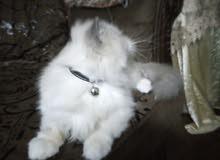 قطة من سلالة الهيمالايا