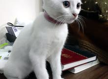 قطه فارسيه للبيع