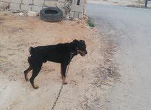 كلب روت وايلر للبيع