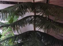 نبتة اوركاريا للزينة