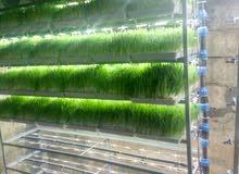 استنبات الشعير بدون اجهزة تكييف