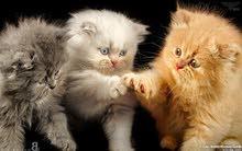 مطلوب قطط صغار للتبني