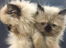 للبيع قطط هملايا بكي فيس