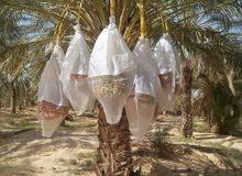 التمور التونسية