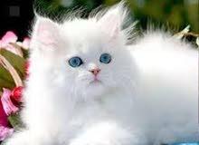 قط الشيرازي صغيرة
