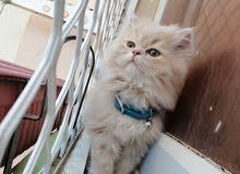 قطة شيرازي هملاي