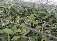 أشجار لافوكا وليمون.للبيع.بثمن جيد