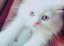 قطة شيرازي فارسي