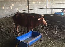 ( 1100 ريال للكل ) 3 أبقار عمانيات مع 3 اولادهن