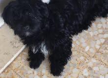 كلب فرنش تيرير اصلي غير مهجن