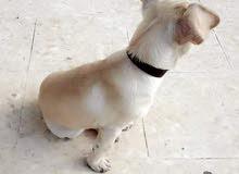 كلب شيواوا للبيع انثى