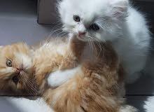قطط شيرازي للبيع بسعر رمزي مع التطعيمات