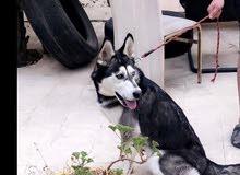 كلب هاسكي انتى عمر 6 اشهر