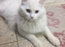 مطلوب قطة شيرازية للتزاوج