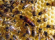 عسل طبيعي بذمه عسل برسيم من مناحلنا في الفاو