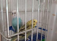 عصافير بقلينو للبيع 0910468185
