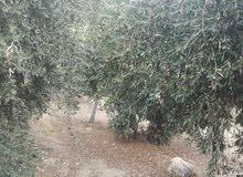 ظمان مزارع الزيتون