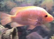 red devil fish  20 cm