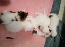 قطط بيضاء
