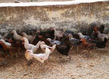 دجاج عماني اعمار مختلفه......