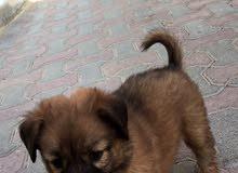 للبيع كلب لولو جرو