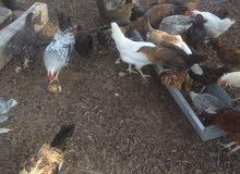 دجاج عربي للبيع