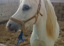 حصان بوني ابيض للبيع