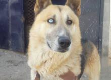 كلب هجين من ام هسكي