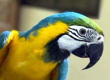 talking and dancing macaw