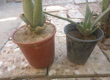 نبات الاولفيرا عدد 2 الوحد ب 5 الاف