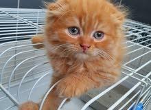 قط برتش وقط سكوتش لون وردي