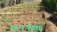 مزرعة الحلال لبيع شتلات وقور البونيكام