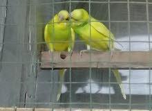طيور حب أقره الوصف