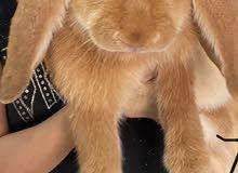 ارنب لوب انجليزي - انثى سنه ونصف