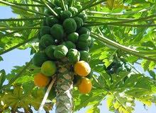 شتل فاكهة الباباي