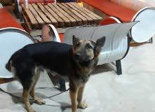 كلب جيرمن عمر 6شهور