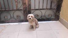 كلب مالتيز فرنسي انثى