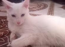 قطة شيرزي للبيع