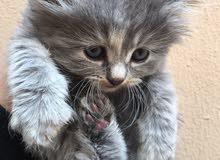 قطط شيرازيه تركيه للبيع