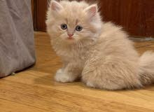 قطط شيرازي برتش عمر 55 يوم